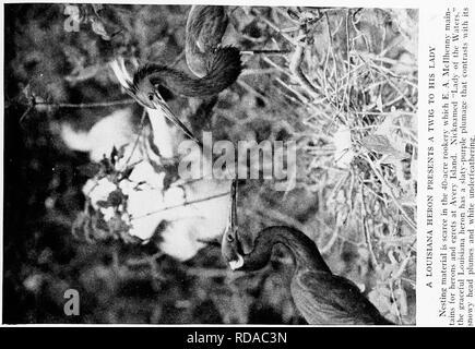 . [Articles sur les oiseaux à partir de National Geographic magazine]. Les oiseaux. . Veuillez noter que ces images sont extraites de la page numérisée des images qui peuvent avoir été retouchées numériquement pour plus de lisibilité - coloration et l'aspect de ces illustrations ne peut pas parfaitement ressembler à l'œuvre originale.. Washington, D. C.: National Geographic Society Banque D'Images