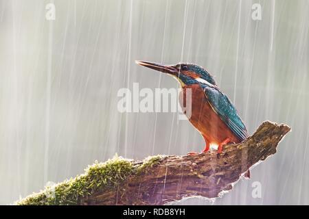 Kingfisher commun masculin dans de fortes pluies avec soleil de l'arrière. Banque D'Images