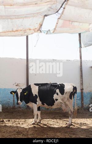 Une vache laitière dans une ferme à la campagne du Maroc.