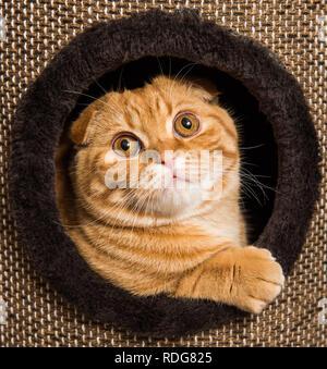 Scottish Fold red cat en cat house Banque D'Images