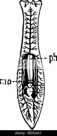 . Une introduction à la zoologie, avec les instructions pour les travaux pratiques (invertébrés). Les seules structures visible pour être vu sur la partie supérieure de la surface de la créature, même avec l'aide d'un solide cristallin, sont: les quatre groupes de minute dark eye- Taches, entre ces corps ovale clair qui est le cerveau, et, tournant longitu- dinally le long du corps, une irrégularité, parfois cassée, ensemencer en stries; c'est la partie centrale de l'appareil digestif, d'où de nombreuses branches s'élèvent au membre de l'organisme. Les cils qui couvrent le corps peut être vu qu'en vertu d'un pouvoir grossissant élevé; b Banque D'Images