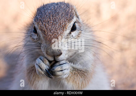 Cape d'écureuils terrestres n'accumulez l'alimentation et doivent tous les jours du fourrage comme ce écureuil dans le parc transfrontalier de Kgalagadi, au Botswana et en Afrique du Sud Banque D'Images