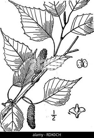 . Une flore illustrée du nord des États-Unis, le Canada et les possessions britanniques, de Terre-Neuve jusqu'au parallèle de la limite sud de la Virginie et de l'océan Atlantique à l'ouest jusqu'à la 102d méridien. La botanique, la botanique. 2. Le Betula coerulea Blanchard. H95- bleu bouleau. Fig. Le Betula coerulea Blanchard, Betula 1. 1904. B. coerulea-grandis Blanchard, loc. cit. 1904. Un arbre, atteignant une hauteur maximale d'environ 65° et un diamètre du tronc de 2°, l'écorce blanche, écaille facilement en couches minces, les jeunes rameaux pubescents deviennent quelque peu, glabres. Feuilles ovées, 2-4$' long, dentées en scie, lon Banque D'Images