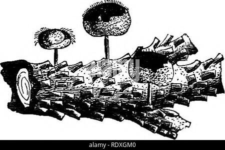 . Introduction à l'étude des champignons; leur organography, classification, et la distribution, à l'usage des collectionneurs. Les champignons. FlQ. 143.-Sternonitis fusca.. Fig. 144.-Didymium. farinacevm. Veuillez noter que ces images sont extraites de la page numérisée des images qui peuvent avoir été retouchées numériquement pour plus de lisibilité - coloration et l'aspect de ces illustrations ne peut pas parfaitement ressembler à l'œuvre originale.. Cooke, M. C. (Mordecai Cubitt), b. 1825. Londres, A. et C. Black