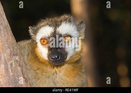 Red-Fronted Lémurien Brun (Eulemur rufus), la réserve Périnet, Madagascar, Afrique Banque D'Images
