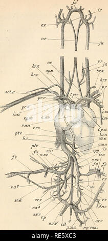 . Un cours d'instruction en zootomy (vertébrés). Anatomie, comparatif. r.r.prc au. sc.a FIG. 54.-Columba livia. Le système vasculaire sanguin, de l'aspect ventrale (nat.).. Veuillez noter que ces images sont extraites de la page numérisée des images qui peuvent avoir été retouchées numériquement pour plus de lisibilité - coloration et l'aspect de ces illustrations ne peut pas parfaitement ressembler à l'œuvre originale.. Parker, T. Jeffery (Thomas Jeffery), 1850-1897. Londres, Macmillan