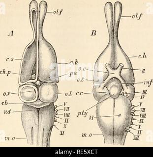 . Un cours d'instruction en zootomy (vertébrés). Anatomie, comparatif. Le lézard. 177 A. m.o. Veuillez noter que ces images sont extraites de la page numérisée des images qui peuvent avoir été retouchées numériquement pour plus de lisibilité - coloration et l'aspect de ces illustrations ne peut pas parfaitement ressembler à l'œuvre originale.. Parker, T. Jeffery (Thomas Jeffery), 1850-1897. Londres, Macmillan