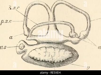 . Un cours d'instruction en zootomy (vertébrés). Anatomie, comparatif. La COD. 123 vestibule (r) et des trois canaux semi-circulaires: ces derniers ont l'habitude d'émission; la partie antérieure (a.s.c) et postérieur (p.s.c) les canaux en leurs branches adjacentes anastomosé, afin que les deux canaux ouverts par trois ouvertures dans le vestibule; le canal horizontal (h.s.c) se trouve entièrement à l'extérieur de la plate-forme, dans lequel il s'ouvre par deux aper- tures, et le ampullx (a) sont situés à l'extrémités des canaux, celles de la face antérieure et les canaux horizontaux étant antérieur, que