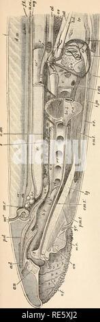 . Un cours d'instruction en zootomy (vertébrés). Anatomie, comparatif. . Veuillez noter que ces images sont extraites de la page numérisée des images qui peuvent avoir été retouchées numériquement pour plus de lisibilité - coloration et l'aspect de ces illustrations ne peut pas parfaitement ressembler à l'œuvre originale.. Parker, T. Jeffery (Thomas Jeffery), 1850-1897. Londres, Macmillan