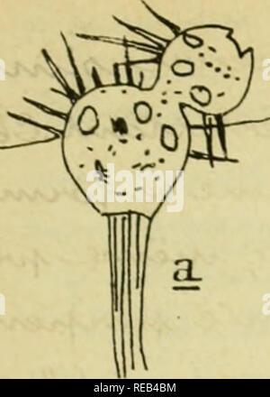 . Confnces de zoologie faites une Sorbonne. Les protozoaires. . Veuillez noter que ces images sont extraites de la page numérisée des images qui peuvent avoir été retouchées numériquement pour plus de lisibilité - coloration et l'aspect de ces illustrations ne peut pas parfaitement ressembler à l'œuvre originale.. Robert, A. , zoologiste, Facultes sciences de Paris. Association amicale des anciens et ves ves. [Paris]: Association amicale des anciens ves et de la ves Facultes sciences de Paris Banque D'Images