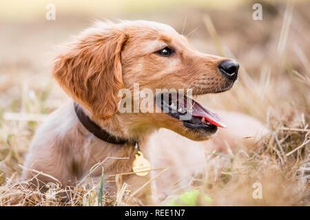 Un chiot Golden Retriever portrait couché dans l'herbe très sèche à la recherche sur le côté. Banque D'Images