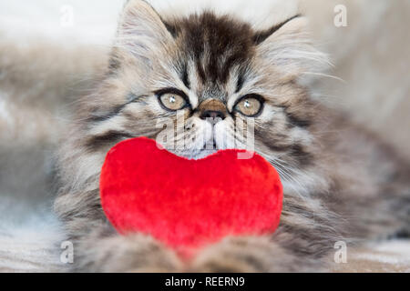 Magnifique chaton Persan Chat avec coeur rouge Banque D'Images