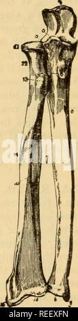 . L'anatomie comparée des animaux domestiques. Chevaux; anatomie vétérinaire. 120 LES OS. groove est 8in<rle, et regarde vers l'extérieur. La surface articulaire inférieure ressemble à celui d'animaux, sauf que du condyle est iiioie distincts. Ch. FoKEAKSi (Fig. 80).-Les deux os de l'avant-bras, comme nous l'avons déjà vu, qu'articu- tard par leurs extrémités; ils sont séparés les uns des autres dans leur partie centrale. Buperior l'extrémité du rayon correspond à du condyle de l'humérus; celui de l'uhia s'articule avec la trochlée humérale. Le processus de coronoid appartient à l'ulna. Un Banque D'Images