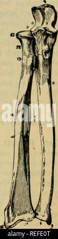 . L'anatomie comparée des animaux domestiques. Anatomie vétérinaire. 120 LES OS. groove est seul, et attend l'extérieur. La surface articulaire inférieure ressemble à celui d'animaux, sauf que du condyle est plus distinct. C. L'avant-bras (Fig. 80).-Les deux os de l'avant-bras, comme nous l'avons déjà vu, qu'articu- tard par leurs extrémités; ils sont séparés les uns des autres dans leur partie centrale. L'extrémité supérieure du radius correspond à du condyle de l'humérus; celle de l'ulna s'articule avec la trochlée humérale. Le processus d'coroiioid appartient à l'ulna. Au moindre ex Banque D'Images