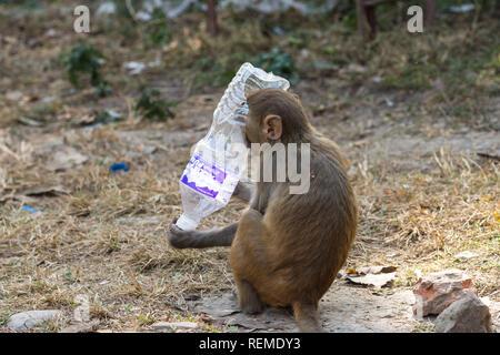Macaque Rhésus (Macaca mulatta) singe avec une bouteille en plastique d'eau couvrant sa tête, Swayambhunath, Népal Banque D'Images