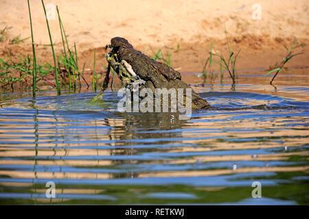 Crocodile du Nil, des profils dans l'eau avec les proies, Sabi Sand Game Reserve, parc national Kruger, Afrique du Sud, Afrique, (Crocodylus niloticus)