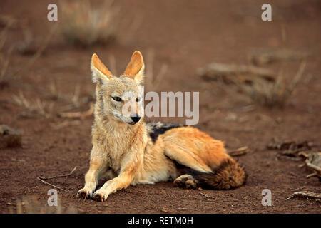 Le Chacal, Adossé noir repos adultes, parc national Kruger, Afrique du Sud, Afrique, (Canis mesomelas) Banque D'Images