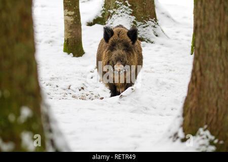 Le sanglier - Sus scrofa sur la neige dans la forêt Banque D'Images