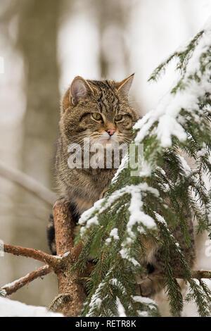 - Felis silvestris chat sauvage européen sur une épinette Banque D'Images