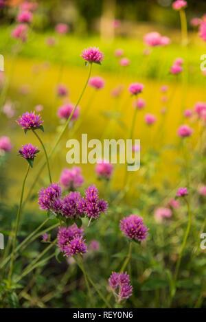 Gomphrena globosa ou fleur d'artifice. Fleur violette dans le disque du soleil. Banque D'Images