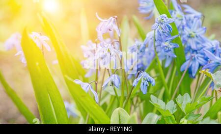 Primevères au printemps dans le jardin sur un matin ensoleillé. Close-up. L'arrière-plan. Banque D'Images