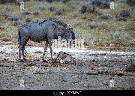 Une femelle Gnou bleu Connochaetes taurinus veau nouveau-né et dans une rivière à sec . Afrique du Sud; Kgalagadi Transfrontier Park