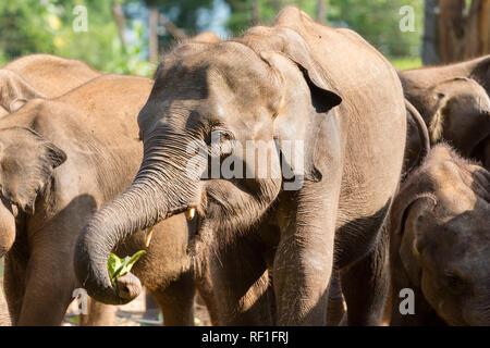 Les jeunes éléphants dans le centre de transit de l'éléphant, d'Uda Walawe, Sri Lanka