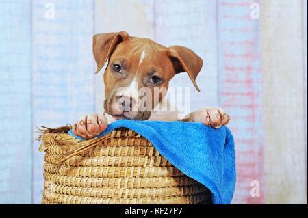 American Staffordshire Terrier, chiot de 11 semaines, rouge blanc, assis dans le panier, Autriche