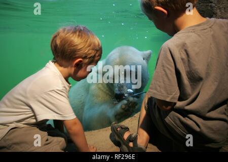 Pour la fenêtre de visualisation sous-marine, l'ours polaire (Ursus maritimus) dans l'habitat de l'Alaska à ZOOM Erlebniswelt, zoo moderne sans Banque D'Images