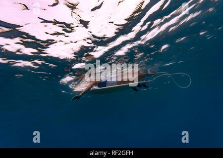 Maledives, sous l'eau voir de surfer allongé sur une planche de surf, underwater Banque D'Images