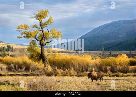 Le bison et le peuplier de l'arbre dans Lamar Valley, le Parc National de Yellowstone.