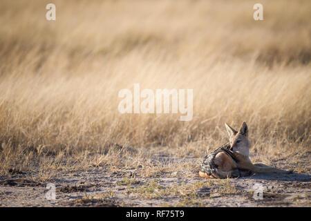 Le chacal à dos noir, Canis mesomelas, les détritivores sont fréquemment observés dans les plaines de savane du Parc national de Hwange, Zimbabwe, du Banque D'Images