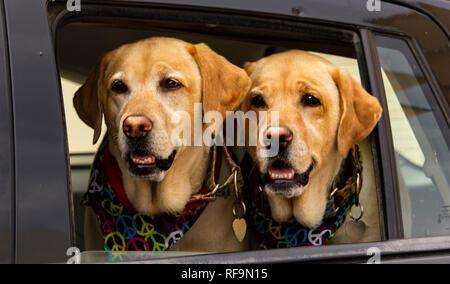 Les chiens Labrador hippies jumeaux dans la voiture, Ibiza Banque D'Images
