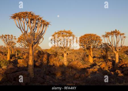 Quiver Tree Forest est une attraction touristique près de Keetmanschoop en Namibie, où des centaines d'espèces en voie de disparition arbres carquois, Aloidendron dichotoma, croître Banque D'Images
