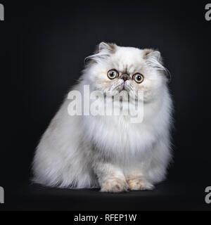 Fluffy mignon chat Persan tabby point / chaton assis face à l'avant. Avec de grands yeux ronds. Isolé sur fond noir.