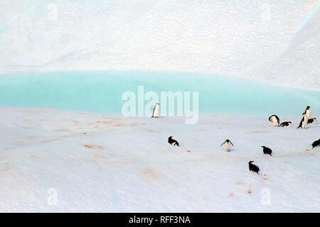 Penguin dans une piscine privée, de l'Antarctique. Un groupe de pingouins sur un iceberg flottant le long de la côte de la péninsule Antarctique Banque D'Images