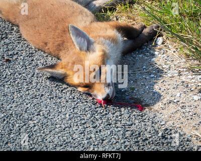 Un jeune fox tué par un véhicule, se trouve sur le côté de la route. Le sang coule de sa tête. Banque D'Images