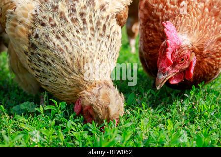 Deux poules de la volaille à pied sur l'herbe verte et luxuriante dans la cour de la ferme au printemps et peck Banque D'Images