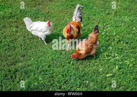 Volaille Poulets coqs marche sur l'herbe verte et luxuriante dans la cour de la ferme à l'été Banque D'Images
