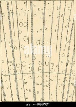 . Bullettino del Laboratorio de orto botanico. Les plantes; les plantes -- Italie Sienne. 176 L. PICCIOLI. Veuillez noter que ces images sont extraites de la page numérisée des images qui peuvent avoir été retouchées numériquement pour plus de lisibilité - coloration et l'aspect de ces illustrations ne peut pas parfaitement ressembler à l'œuvre originale.. R. Université de Sienne; R. Université de Sienne. Istituto botanico; R. Université de Sienne. Laboratorio botanico; R. Université de Sienne. Orto botanico; Tassi, Flaminio, b. 1851. Siena: L. Lazzeri Banque D'Images