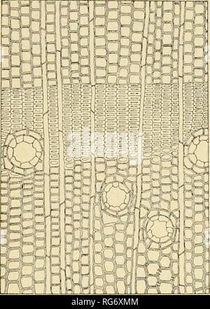 . Bullettino del Laboratorio de orto botanico. Les plantes; les plantes -- Italie Sienne. Encodage DEI SRL 111. Veuillez noter que ces images sont extraites de la page numérisée des images qui peuvent avoir été retouchées numériquement pour plus de lisibilité - coloration et l'aspect de ces illustrations ne peut pas parfaitement ressembler à l'œuvre originale.. R. Université de Sienne; R. Université de Sienne. Istituto botanico; R. Université de Sienne. Laboratorio botanico; R. Université de Sienne. Orto botanico; Tassi, Flaminio, b. 1851. Siena: L. Lazzeri Banque D'Images