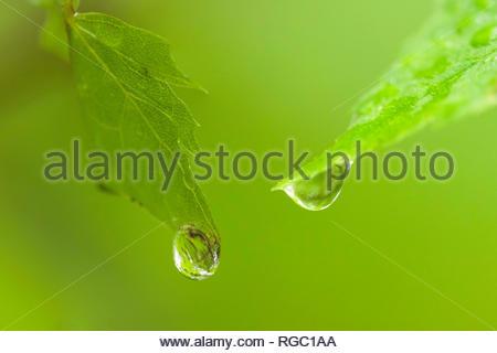 Sur les gouttes de pluie Goutte d'eau des feuilles humides vert feuilles fraîches de précipitations de pluie gouttes gouttelettes météo pureté de la forêt Banque D'Images