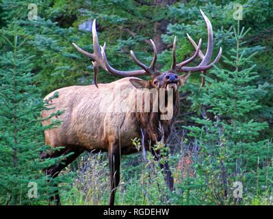 38 618,01045 énorme expérimentés old elk bull (Cervus canadensis) en rut posture prêt & prêts à se battre pour protéger son troupeau de mâles adultes les intrus Banque D'Images