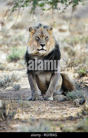 La crinière d'un lion mâle noir se reposant sous un arbre dans le parc Kgalagadi, Afrique du Sud. Panthera leo