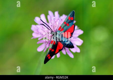 Six-spot Burnet Moth, Zygaena filipendulae, une espèce d'Day-Flying