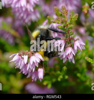 Buff-tailed Bumblebee Bombus terrestris - sur la bruyère - Calluna vulgaris Banque D'Images