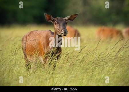 Red Deer hind en été avec troupeau en arrière-plan Banque D'Images