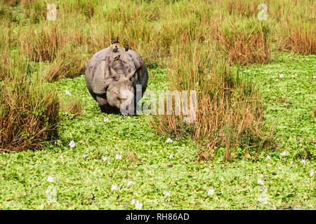 À une corne pour mineurs (rhino Rhinoceros unicornis) dans le parc national de Chitwan, au Népal. Rhinocéros à une corne (Rhinoceros unicornis) également dans Kazira