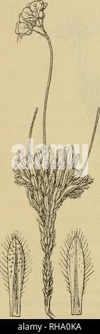 . Botanisk tidsskrift. Les plantes Les plantes; -- le Danemark. 296 à cette espèce appartiennent: Draha aspera Adams. (Fig. 5). Les feuilles ici sont pour la plupart des petits poils ramifiés; ciliées sont rare sur les surfaces. Je n'ai pas vu de spécimens originaux, mais il y a des spécimens de près d'accord avec la description donnée par De Candolle à partir de la Péninsule de Taimyr (legit mi- Tschuktscher dendorf), la terre (legit Kjellman), fleuve Saint-Laurent. Veuillez noter que ces images sont extraites de la page numérisée des images qui peuvent avoir été retouchées numériquement pour plus de lisibilité - coloration et l'apparition de ces illustrations