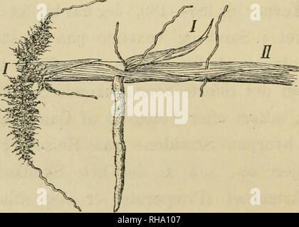 . Botanisk tidsskrift. Les plantes Les plantes; -- le Danemark. Fig. 4. Nardus strictus. (Fot. af F. Borgesen).. Fig. 5. Carex arenaria. Vi. (E.W.). Veuillez noter que ces images sont extraites de la page numérisée des images qui peuvent avoir été retouchées numériquement pour plus de lisibilité - coloration et l'aspect de ces illustrations ne peut pas parfaitement ressembler à l'œuvre originale.. Botaniske forening je Kbenhavn; Botaniske forening je Kbenhavn. Journal de botanique; Dansk botanisk forening. Kbenhavn: G. E. C. Gads Forlag
